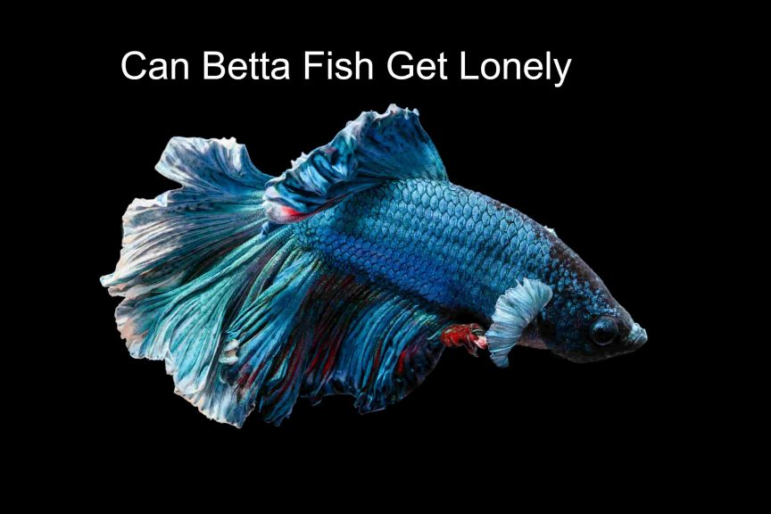 Can Betta Fish Get Lonely