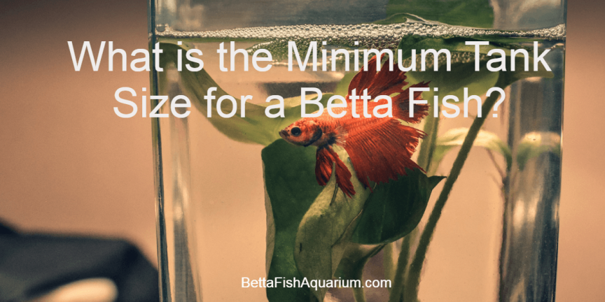 What is the Minimum Tank Size for a Betta Fish