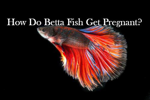 How Do Betta Fish Get Pregnant Bettafishaquarium Com