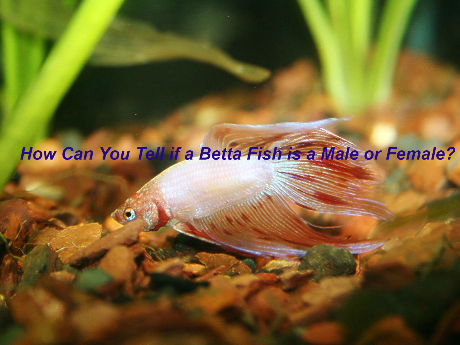 How Can You Tell If A Betta Fish Is A Male Or Female Bettafishaquarium Com